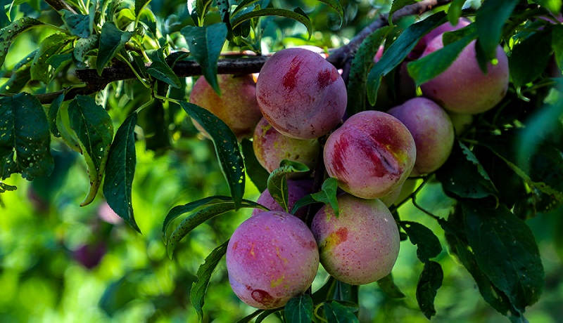 بی مهری مسئولان نسبت به کشاورزان/اعطای مشوق صادراتی به محصولات باغی اندرخم یک کوچه باقیست