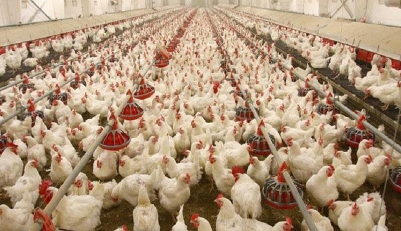 دخالت بخشهای دولت در تولید مرغ/تولید کنندگان جوجههای یک روزه را معدوم میکنند