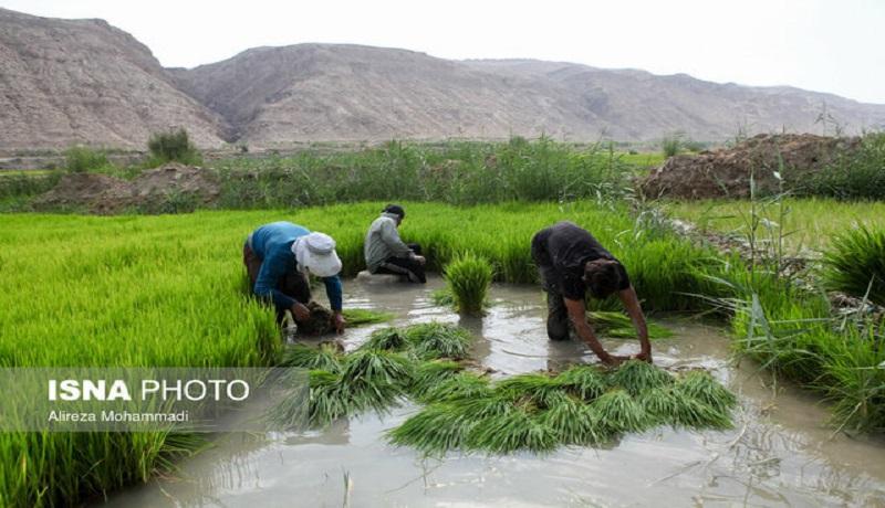 قیمت خرید توافقی برنج هر چه سریعتر اعلام شود
