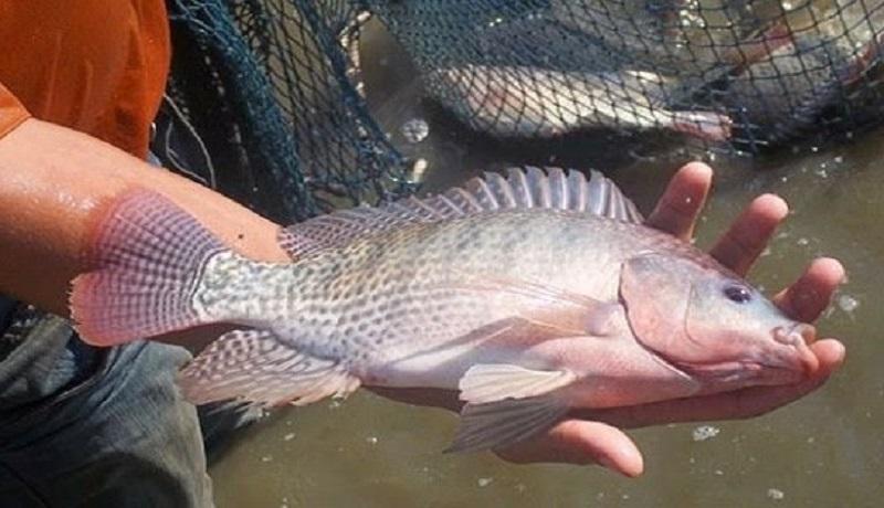 مخالفت سازمان محیط زیست برای توسعه پرورش ماهی تیلاپیلا