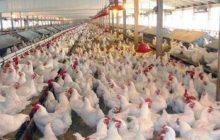 قیمت هر کیلو مرغ ۱۳ هزار و ۸۰۰ تومان/ افزایش چندبرابری قیمت واکسن در صنعت مرغداری