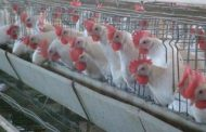 بهرهمندی ۱۵ استان کشور از نانو محلول ضدعفونیکننده دام و طیور