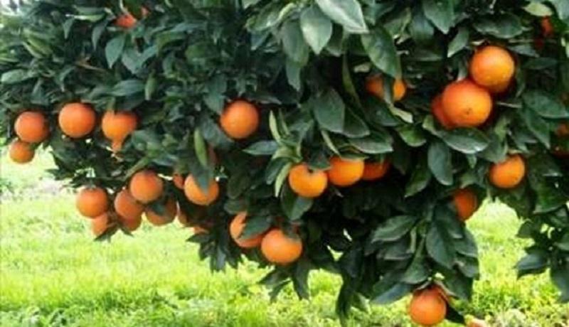 چرا عمکلرد محصولات باغی در ترکیه دو برابر ایران است؟