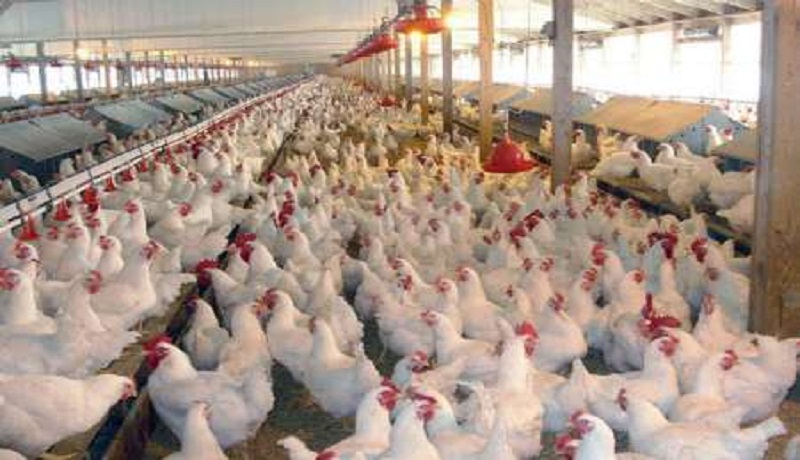 زیان یک هزار و ۵۰۰ تومانی مرغداران در فروش/قیمت هر کیلو مرغ به ۱۱ هزار و ۸۰۰ تومان رسید