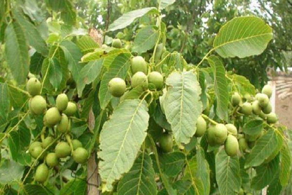 دست باغداران در پوست گردو/ خسارات خشکسالی به گردوی «سامان»