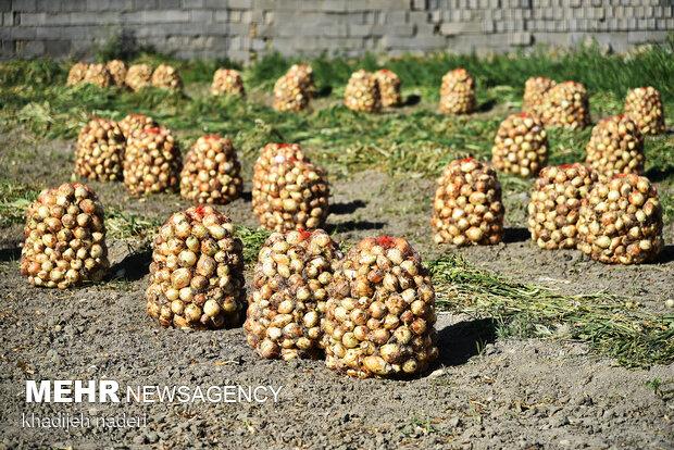 هشدار در خصوص تکرار تراژدی افت قیمت محصولات کشاورزی در جنوب کرمان