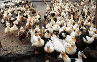 رونق پرورش گلهای اردک در مازندران