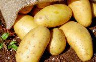 روسها در فکر واردات محمولههای بزرگ سیبزمینی از ایران