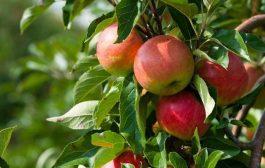 دلایل باد کردن سیب درختی روی دست باغداران/ قیمت خرید سیب ۳۰ درصد کاهش یافت/ بازار دبی بیشتر سیاسی است تا رقابتی