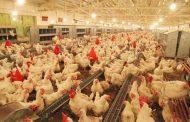 تعطیلی برخی مرغداریها به دلیل افزایش هزینه تولید/در کشتارگاهها چه خبر است؟