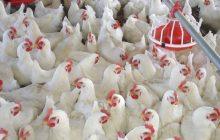 سازمان دامپزشکی استفاده از تریاک در صنعت پرورش طیور گوشتی را تکذیب کرد