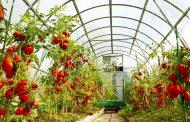 ایجاد زنجیره تولید در کنار توسعه گلخانهها ضروری است