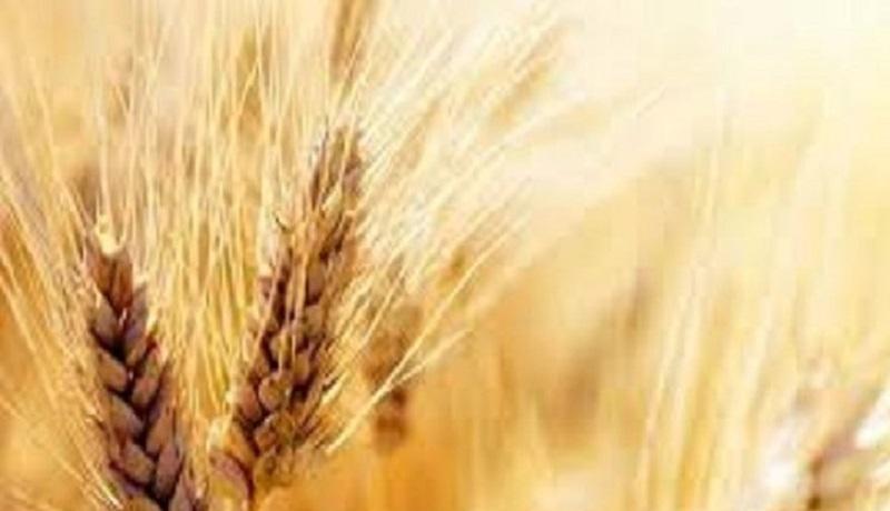تعیین قیمت پایین گندم دهنکجی به وزارت جهاد کشاورزی است/ جای وزیر باشم استعفا میکنم
