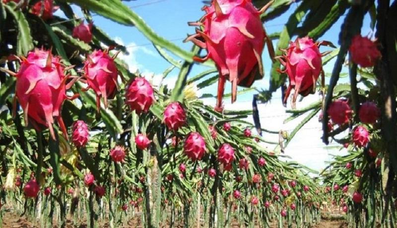 دانشجویی که جای سوئدیها را در جهاد کشاورزی گرفت/ تاثیر «میوههای اژدهایی» در باز کردن مسیرهای بسته