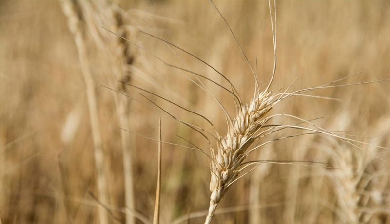 تکرار بی توجهی به قانون خرید تضمینی گندم/تامین ارز مورد نیاز برای واردات گندم به سخت است