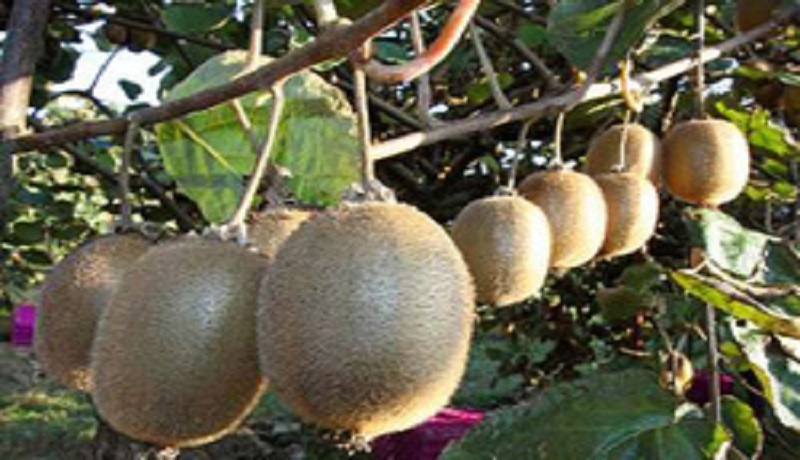 تولید بیش از ۳۰۰ هزار تن کیوی در کشور