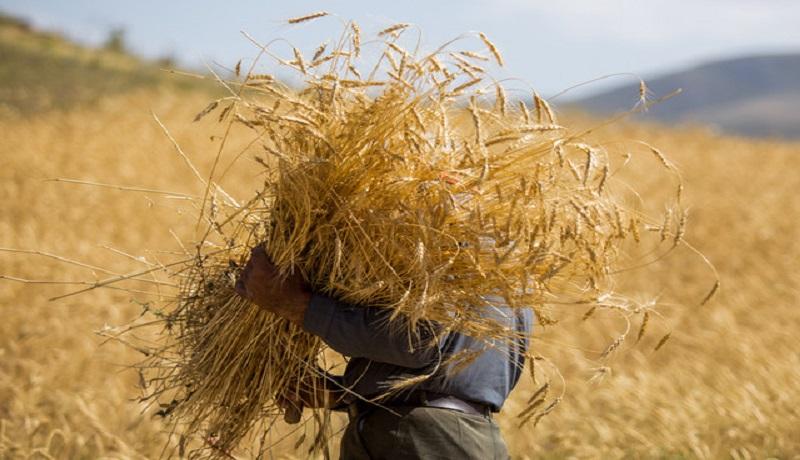 افزایش ۲ برابری یارانه آرد و نان تغییری در اصلاح نرخ گندم نداشت/ گندمکاران همچنان چشم انتظار اصلاح قیمت خرید تضمینی
