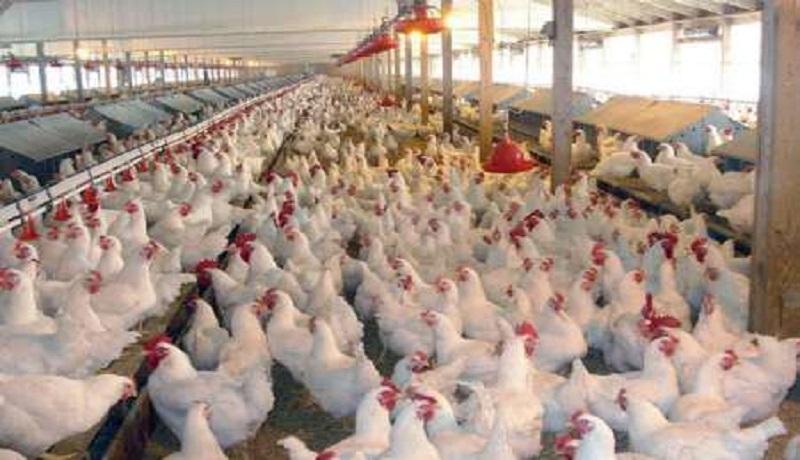 استمرار ثبات قیمت مرغ تا پایان هفته در بازار/نیازی به واردات مرغ نداریم