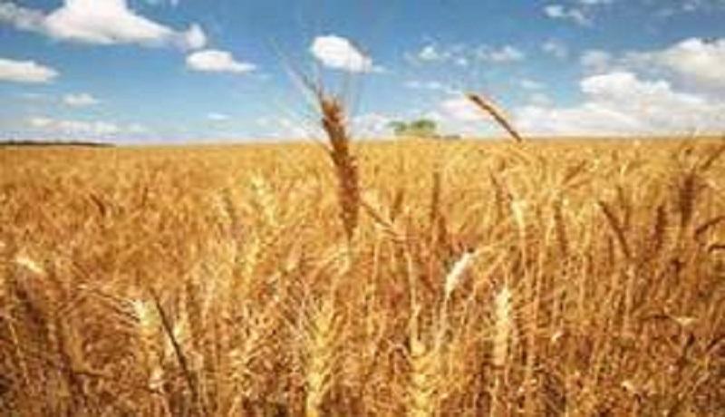 کشاورزان رغبتی به تحویل گندم با نرخ ۱ هزار و ۷۰۰ تومان به دولت ندارند