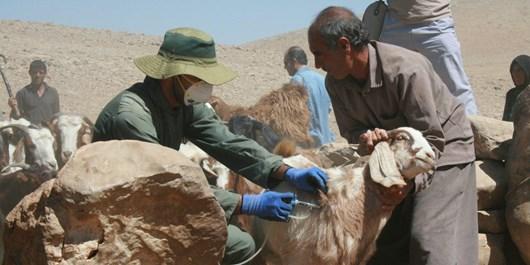 سرایت طاعون نشخوارکنندگان به انسان ممکن نیست/ ۵۹ میلیون راس دام اهلی را واکسینه کردیم/ موارد گزارشی مربوط به حیات وحش طالقان است