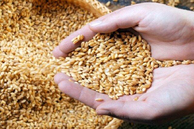 توزیع بذر گندم و کود بین کشاورزان استان بوشهر آغاز شد